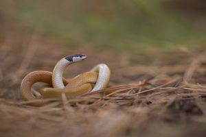 Black-headed ground snake