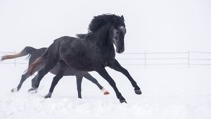 Black Horses Running On Snow Covered Landscape During Snowfall