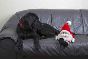 Black Labrador Retriever dog, male, looking at a Santa Claus puppet lying on a leather