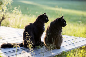 Two black long hair cats