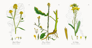 Black Mustard, Brassica Nigra, Victorian Botanical Illustration, 1863