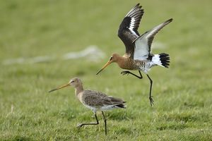 Black-tailed Godwits -Limosa limosa-, displaying, Texel, West Frisian Islands, province