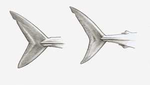Black and white illustration of two shark tail fins, single-keeled tail of Mako shark (Isurus sp