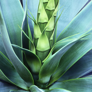 Blue Agave Close Up