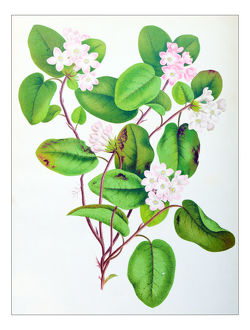 Botany plants antique engraving illustration: Epigaea repens, mayflower, trailing arbutus