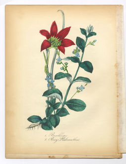 Brooklime and Rosy Habranthus, Rain Lily, Victorian Botanical Illustration