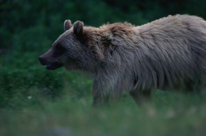 BROWN GRIZZLY BEAR, GLACIER NATIONAL PARK