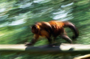 Brown pale-fronted capuchin (Cebus albifrons) (blurred motion)
