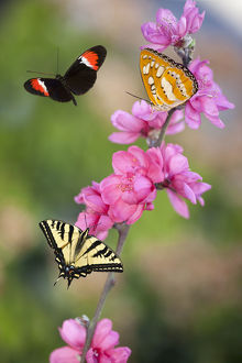 Three Butterflies on Cherry Blossoms