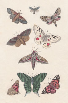 Butterflies, hand-colored lithograph, published in 1880