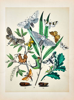 Butterflies, Moths, Insects and Plants - Illustration 1889