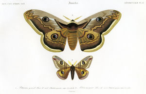 butterflys, scientific illustration, lithograph, 1842