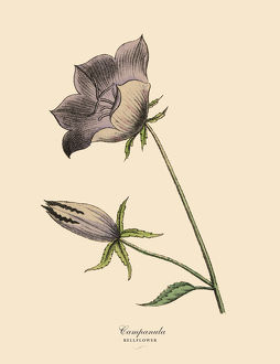 Campanula or Bellflower Plant, Victorian Botanical Illustration