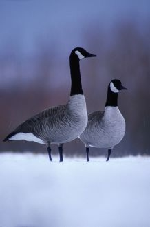 Canada geese (Branta canadensis) in snow