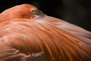 photographers/paul souders photography/caribbean flamingo phoenicopterus ruber close up