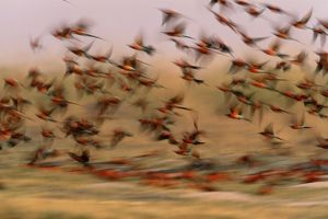 Carmine bee-eaters (Merops nubicoides) in flight (blurred motion)