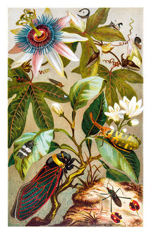 Cicada and flowers lithograph 1895