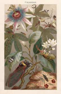 Cicadas, lithograph, published in 1897