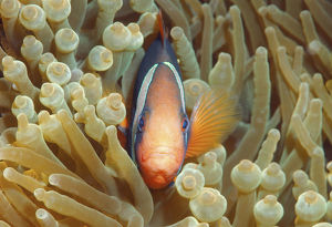 collections/imagebroker collection andrey nekrasov photography/cinnamon clownfish fire clownfish amphiprion