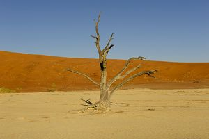 Classic DeadVlei tree surrounded by orange dunes