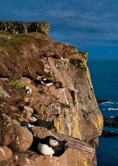 Cliffs are occupied by puffins