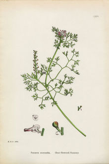 Close-flowered Fumitory, Fumaria micrantha, Victorian Botanical Illustration, 1863