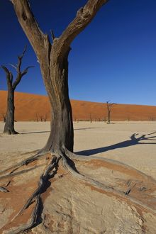 Close up of one of the iconic dead trees in Deadvlei, Namibia