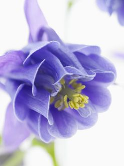 close-up of blue columbine