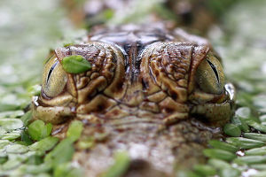 Close-up of a crocodile's eyes