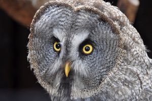 Close-Up Of Great Grey Owl Looking Away