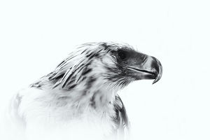 Close-Up Of Philippine Eagle Against White Background