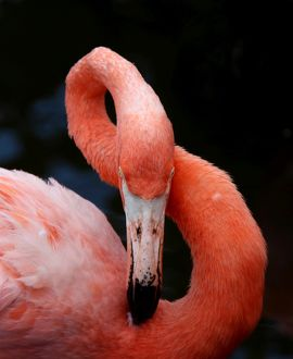 Close-up of a preening pink Flamingo showing it's flexible long neck make a figure 8