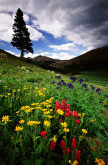 COLORADO STATE FOREST WILDFLOWERS, USA