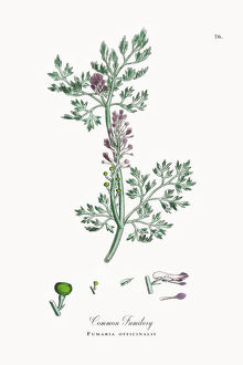 Common Fumitory, Fumaria officinalis, Victorian Botanical Illustration, 1863