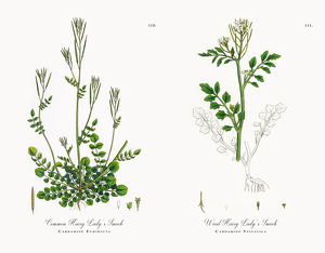 Common Hairy Ladya€™s Smock, Cardamine Euhirsuta, Victorian Botanical Illustration, 1863