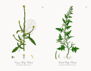 Common Hedge Mustard, Sisymbrium Officinale, Victorian Botanical Illustration, 1863