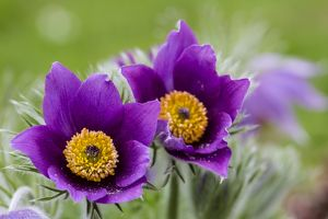 nature wildlife/stephan rech photography/common pasque flower pulsatilla vulgaris hesse