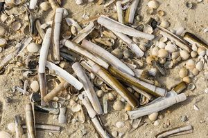 Common Razor Shells -Ensis ensis-, Sylt, Schleswig-Holstein, Germany