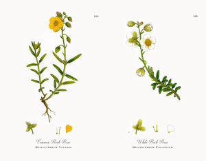 Common Rock Rose, Helianthemum Vulgare, Victorian Botanical Illustration, 1863