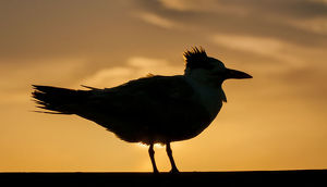 common tern in silhouette at sunset