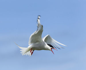nature wildlife/stephan rech photography/common tern sterna hirundo farne islands northumberland