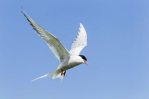 Common Tern -Sterna hirundo-, Farne Islands, Northumberland, England, United Kingdom