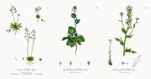 Common Whitlow Grass, Draba Verna, Victorian Botanical Illustration, 1863