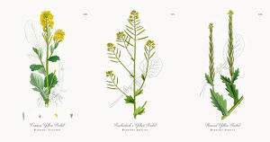 Common Yellow Rocket, Barbarea Vulgaris, Victorian Botanical Illustration, 1863