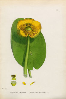 Common Yellow Waterlily, Nuphar lutea, Victorian Botanical Illustration, 1863