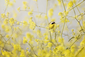 Common Yellowthroat Perched in Wild Mustard
