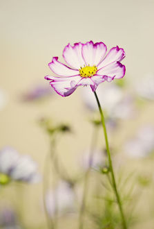 Cosmos in soft sunshine