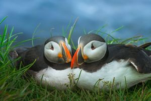 couple Puffin at Latrabjarg, Iceland