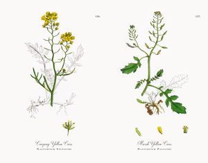 Creeping Yellow Cress, Nasturtium Sylvestre, Victorian Botanical Illustration, 1863