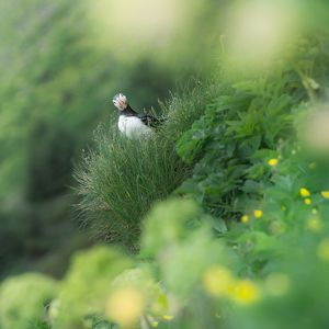 Curious puffin on a greenery background